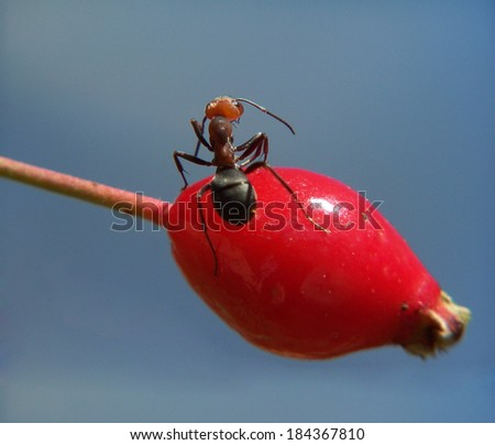 an ant climbing on a rosehip berry  - stock photo