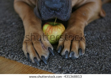 an apple and big paws of dog