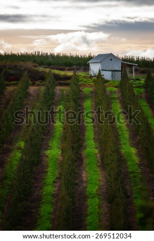 an apple orchard backdrop with rows of trees and bright green grass creating a striped pattern on the hillside - stock photo