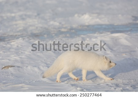 An arctic fox searches for food in the snow near Churchill, Manitoba - stock photo