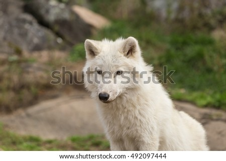 An Arctic Wolf in the fall