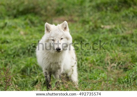 An Arctic Wolf pup in fall