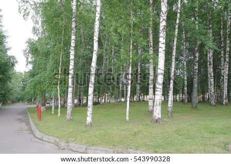 An array of trees, birch, pine, in the summer in the Park of the city of Syktyvkar, Komi Republic, Russia,