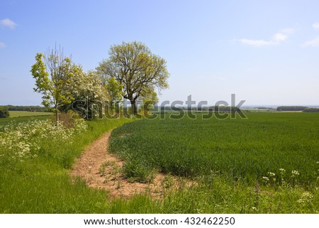 an ash tree coming into leaf in a mixed hedgerow beside a wheat field with a view of the vale of york under a clear blue sky