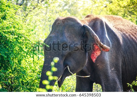 An asian elephant eating breakgfast early in the morning in Udawalawe national park, Sri Lanka.