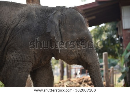 an asian elephant in the village - stock photo
