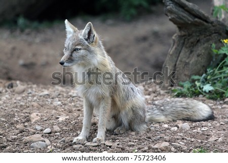 An Asian Fox rests in the warm summer evening
