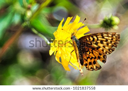 An Atlantis Fritillary rests on a yellow flower