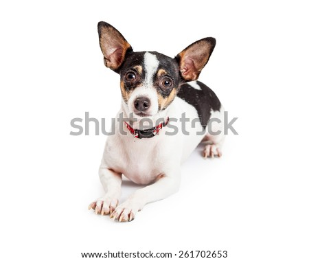 An attentive and well trained  Chihuahua Dog laying while looking forward.  Paws are outstretched in front of dog.