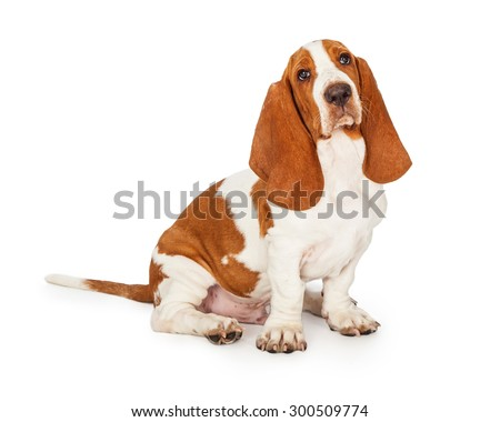 An attentive Basset Hound Puppy Dog sitting while looking directly into the camera. - stock photo