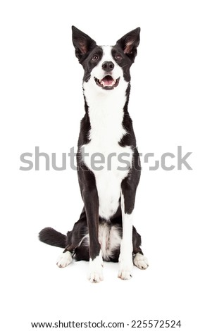 An attentive Border Collie Mix Breed Dog sitting while looking upwards. - stock photo