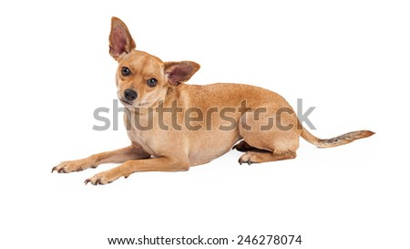 An attentive Chihuahua Mix Breed Dog laying while looking forward.  - stock photo