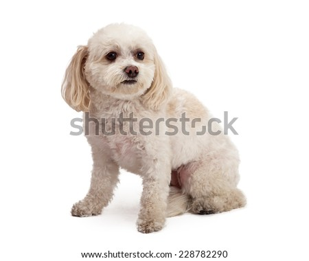 An attentive Maltese And Poodle Mix Breed Dog sitting while looking off to the side.  - stock photo