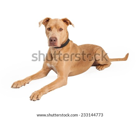 An attentive Staffordshire Bull Terrier Mix Breed Dog laying at an angle while looking forward.