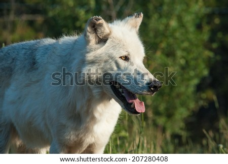 An attentive wolf looks off to the right - stock photo