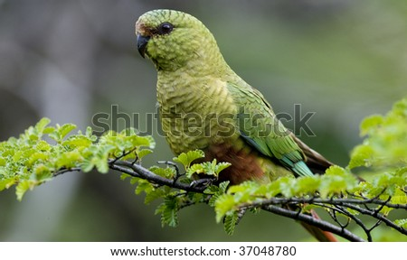 An Austral Parakeet perched and displaying it's brilliance in a lush green setting. Taken in Tierra De Fuego National Park. - stock photo