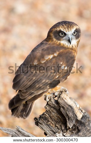 An Australian barking owl near Alice Springs, Northern Territory, Australia - stock photo