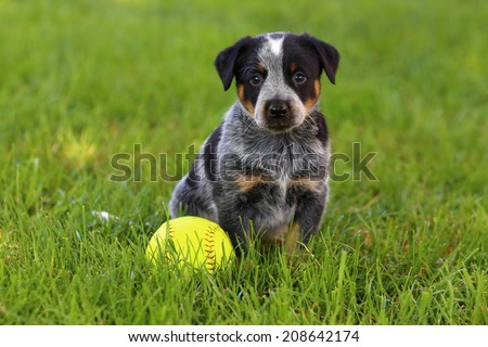 An Australian Cattle Dog (also known as a Blue Heeler) sits in some lush green grass with a baseball ready to play - stock photo