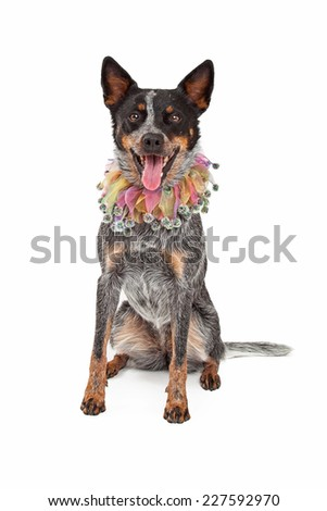 An Australian Cattle Dog Wearing a jester's collar while sitting and looking into the camera.  - stock photo