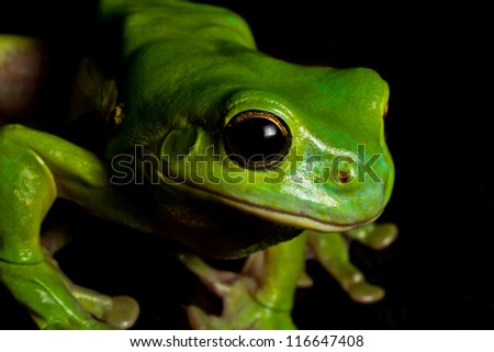 An Australian green tree frog carefully watches some nearby crickets before pouncing on them. - stock photo