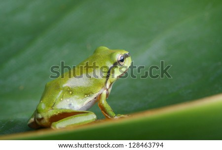 An Australian Green Tree Frog - juvenile - Litoria caerulea - sitting on a long broad green leaf.