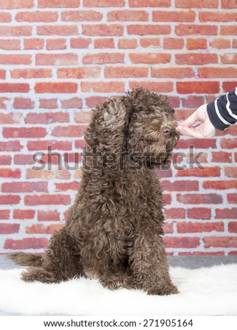 An Australian labradoodle lifting it's paw. Image taken in a studio. - stock photo