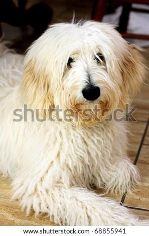 an Australian poodle - stock photo