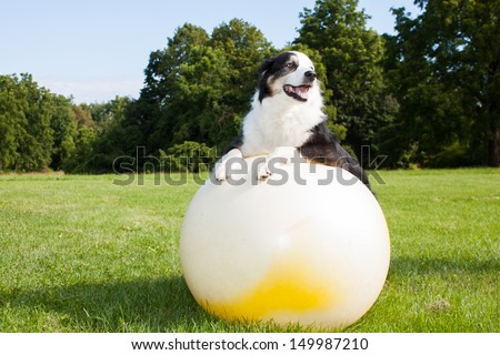 An Australian Shepherd Dog doing exercises on a Yoga ball in the park.  Stretching is very good for your dog. - stock photo