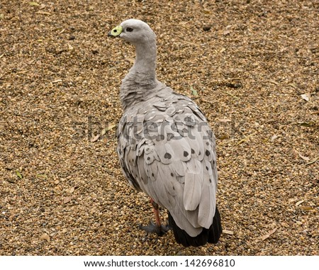 An Australian yellow-billed grey-feathered waterfowl - stock photo