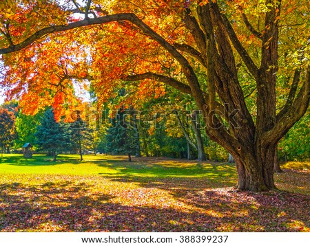 An Autumn shade tree in this park in Bucks County Pennsylvania.