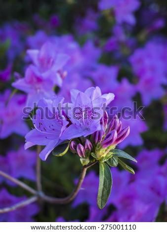 An azalea in full bloom in Spring. - stock photo