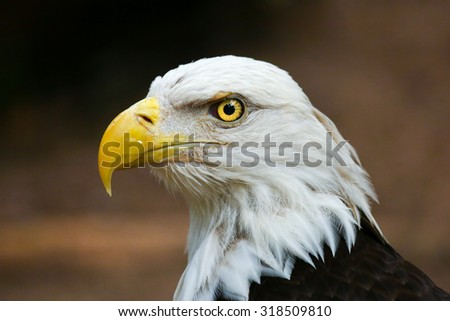 An Eagle Portrait