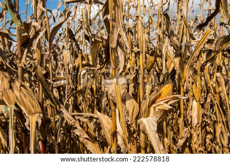 An ear of corn remains on the stalk after harvest time in the North Carolina mountains. Image shows the texture of the left over stalks. - stock photo
