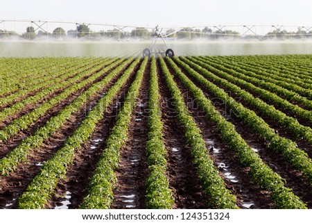 An early morning view of rows of plants in a potato field. - stock photo
