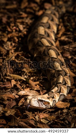 An East African Gaboon Viper approaching the camera.