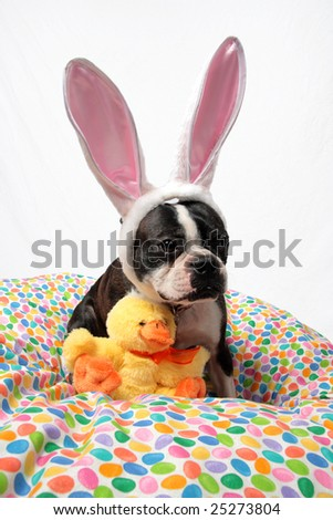 An Easter photo of a Boston Terrier with a chick stuffed animal.