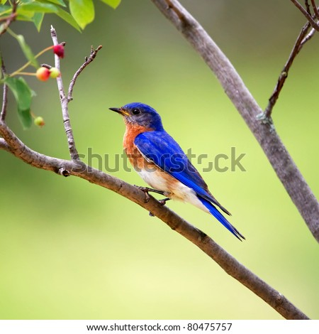 An Eastern Bluebird perched on a tree limb with a green background.