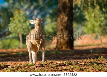 an eastern gray kangaroo tips its head back and really enjoys the morning sun