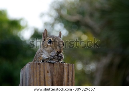 An Eastern grey squirrel is perched behind a fence post which makes it appear it is sitting at a table covered with sunflower seeds and has hands up to mouth eating.