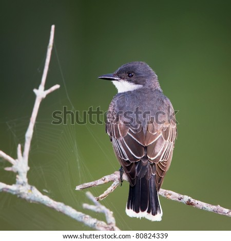 An Eastern Kingbird perched on a branch with a dark green background and nearby spider webs.