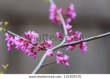 An eastern redbud tree, Cercis canadensis, that is starting to bloom in spring - stock photo