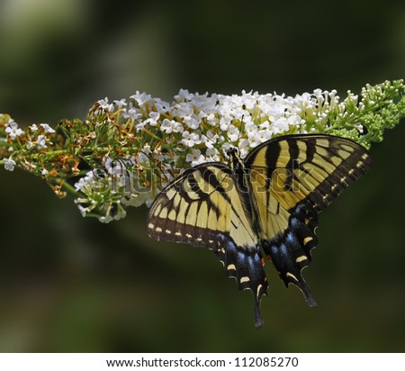 An Eastern Tiger Swallowtail Butterfly on a white Butterfly Bush (Buddleja davidii) bloom.