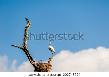 An egret perching on a tree next to its nest in India. - stock photo