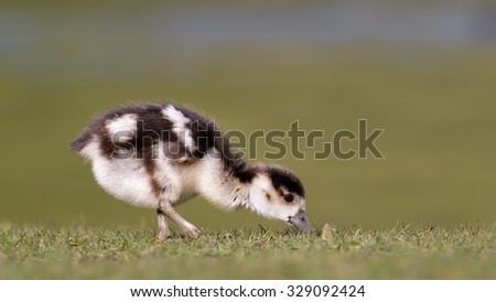 An Egyptian Gosling grazing on the short grass. - stock photo