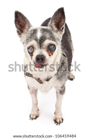 An eighteen year old blind Chihuahua rescue dog with tongue out isolated on white