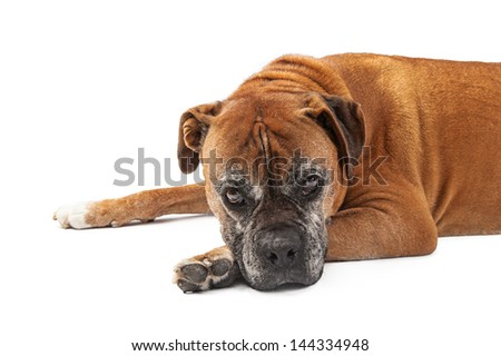 An elderly Boxer breed dog laying down against a white backdrop with a sad look on his face. Isolated on white with copy space. - stock photo