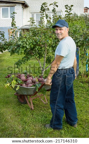 An elderly man with a wheelbarrow red beets in his garden