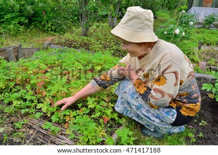 An elderly woman gardener gathering strawberries in the garden in the suburbs of Saint-Petersburg, Russia