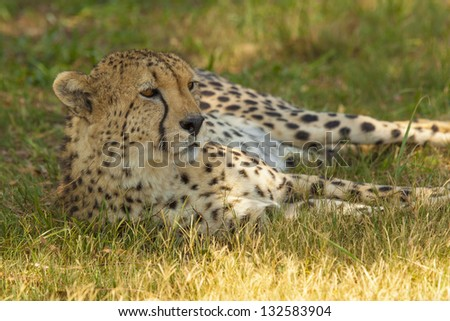 An Elegant, Slender Cheetah in its Natural Habitat, Staring into the Distance as its Laying in the Shade of a Tree in the African Savannah.