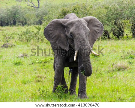 An elephant feeding at the Masai Mara Game Reserve.